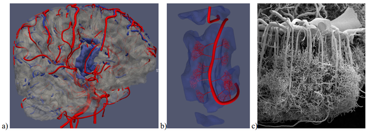 Fig. 6. a) Model of arterial (in red) and venous (in blue) branches superimposed on the surface of brain gray matter (in gray)...